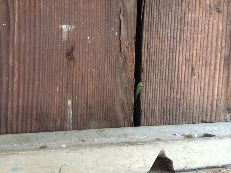 BabyGecko